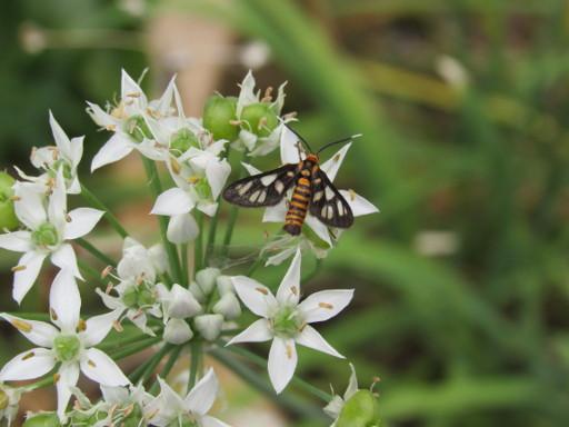 Wasp Moth shot in Macro mode Canon Powershot SX530 HS