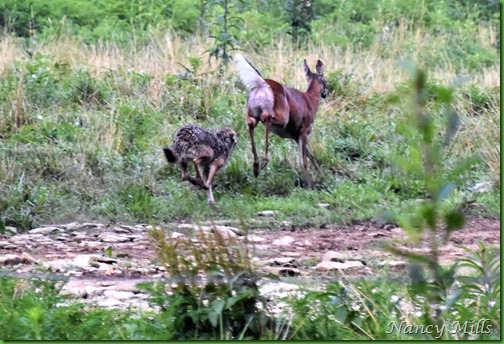D2018-07-11 44 - Cades Cove Walk -  The Chase is ON