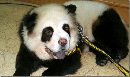 peros como oso pandas y tigres (8)