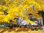 Fall foliage on Edinburgh Street
