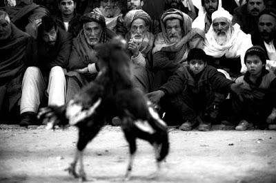 Afghan+Cock+Fighting+Makes+Resurgence+After+vT2aKEIAGl8l.jpg