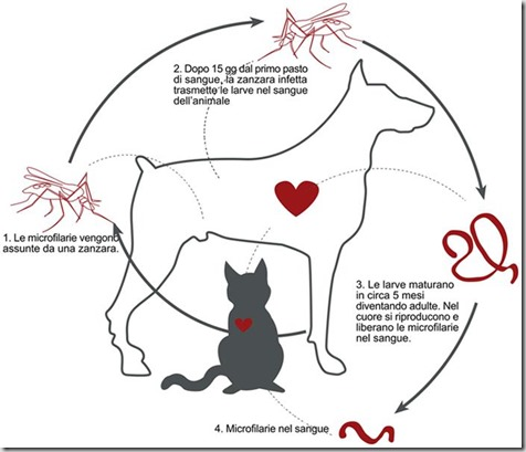 ciclo filaria