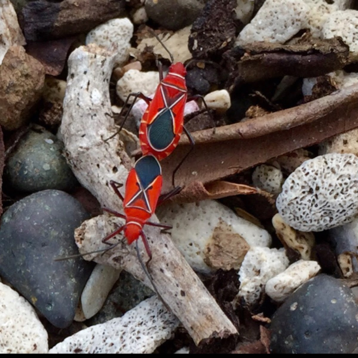 St. Andrew's Cotton Stainer