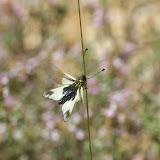 Névroptère : Ascalaphus ottomanus GERMAR, 1817. Brunet (Alpes-de-Haute-Provence), 14 juin 2008. Photo : J.-M. Gayman
