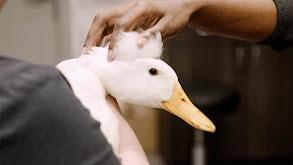 Lumpy Duck thumbnail