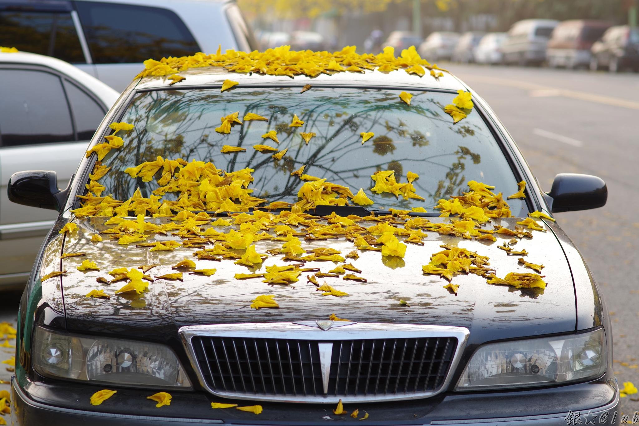 路樹 - 黃花風鈴木