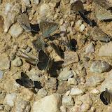 """Rassemblement de lycènes """"mud-puddlant"""". mâles de Polyommatus coridon coridon PODA, 1761 et de Agriades glandon glandon PRUNNER, 1798. Bergerie inférieure de Mary, 2300 m (Maurin, Alpes-de-Haute-Provence), 12 août 2009. Photo : J.-M. Gayman"""