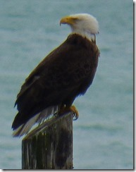 Bald Eagle, Haines Alaska