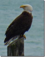 Bald Eagle, Haines Alaska