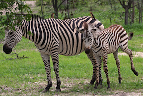 Zebra Female and Baby with Oxpeckers, Zambia