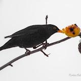 Чёрный дрозд (Turdus merula)