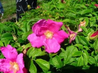 Róża pomarszczona kwiat Rosa rugosa