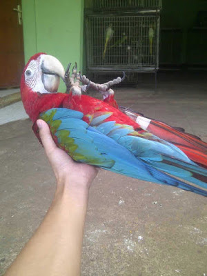 jual macaw green wing