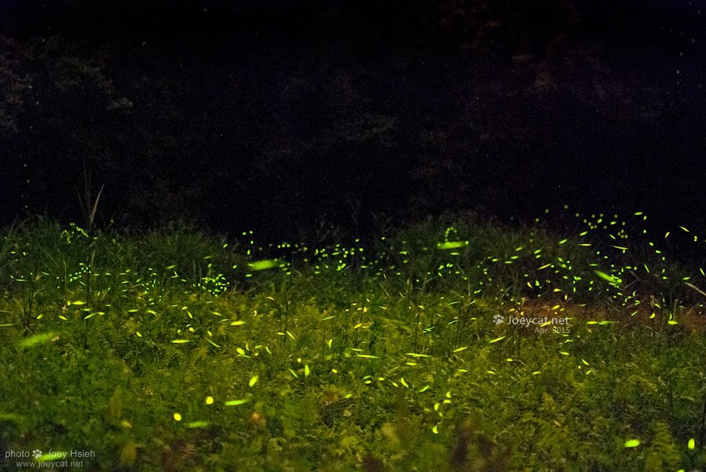 螢火蟲 東勢林場