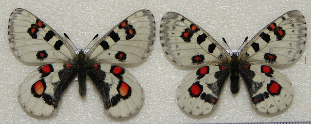 Parnassius (Parnassius) epaphus nomionides SCHULTE, 1992 (couple). Qinghai, Chine. Photo : Pavel Morozov