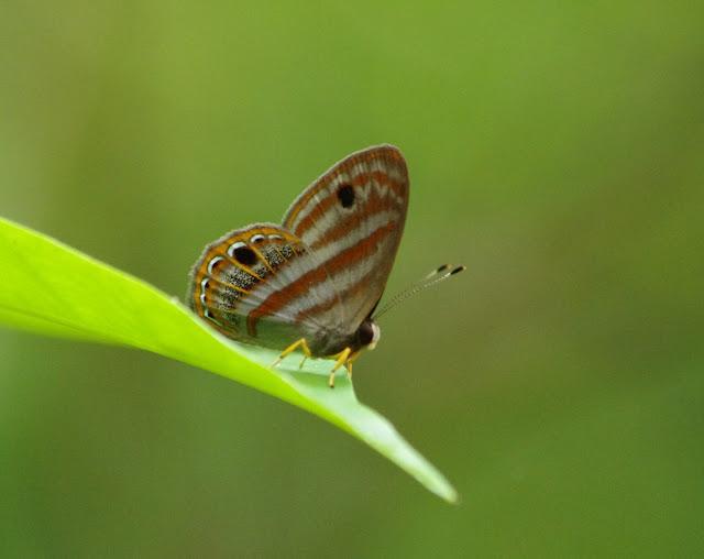 Riodinidae : Euselasia euryone (HEWITSON, 1856). Crique Fillon (sentier 2) près des Carbets de Coralie, 31 octobre 2012. Photo : J.-M. Gayman