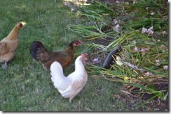 Chooks look on as lizard runs away