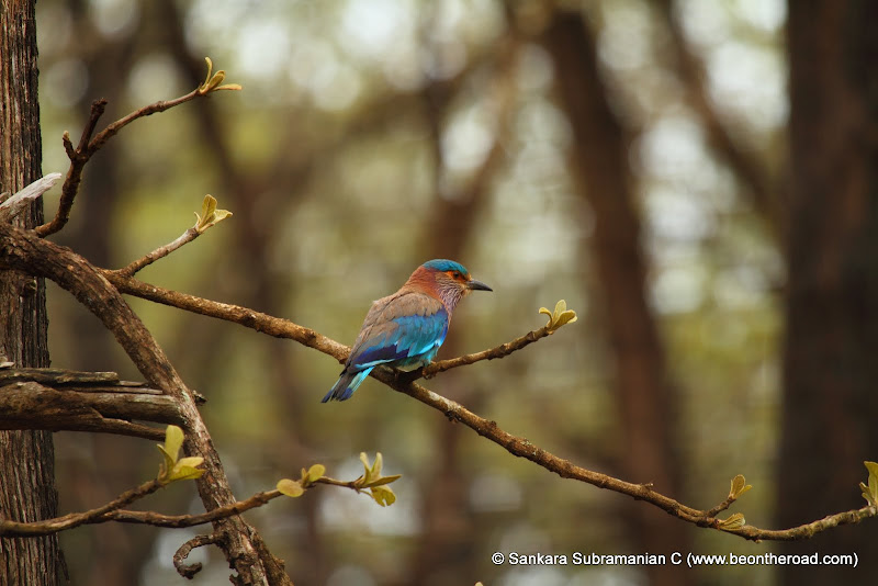 Indian Roller - Karnataka's State Bird
