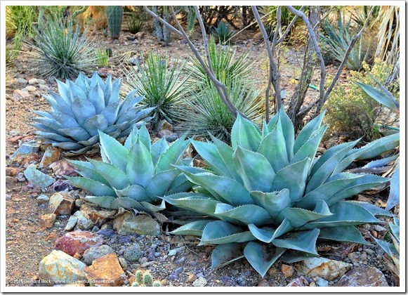 151229_Tucson_GregStarr_Agave-ovatifolia_0006