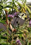 Kanarisk kålsommerfugl, Pieris cheiranthi, hun.jpg