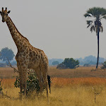 Africa-Giraffe Palm Tree.jpg