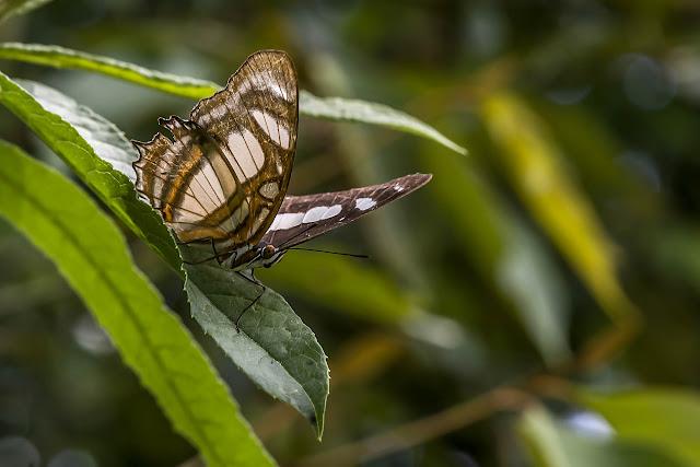 Metamorpha elissa elissa Hübner, [1819]. Cupiagua, 720 m (Casanare, Colombie), 5 novembre 2015. Photo : B. Lalanne-Cassou