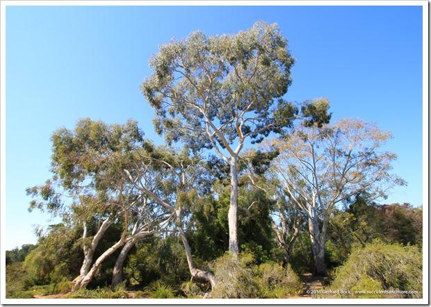 160813_UCSC_Arboretum_Eucalyptus-laeliae_009