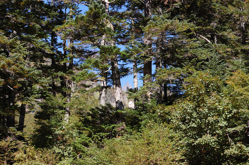 槍沢小屋の前の木々の間から見える槍ヶ岳