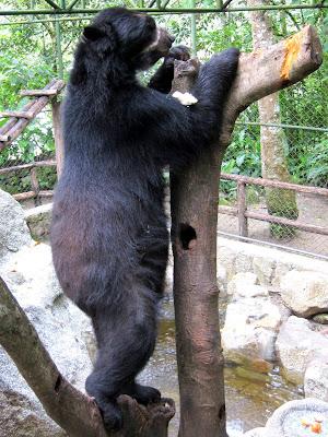 Andean bear in Machu Picchu Peru