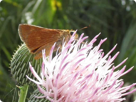 6 skipper Butterfly
