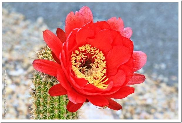 160530_echinopsis_flower_012