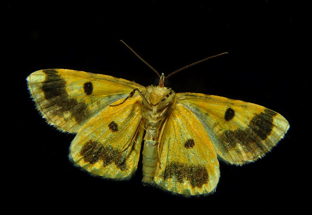 Geometridae : Ennominae : Boarmiini : probablement Cleora perfumosa WARREN, 1896. Umina Beach (NSW, Australie), 17 octobre 2011. Photo : Barbara Kedzierski