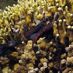 Mandarinfish (Malapascua)