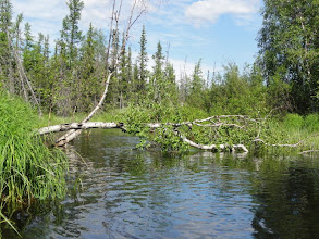 Photo: Березы - главные препятствия в протоках.