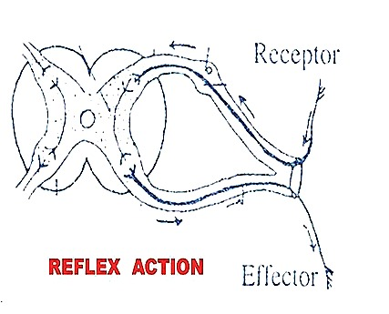 Reflex actions reflex arc biozoom reflex action ccuart Image collections
