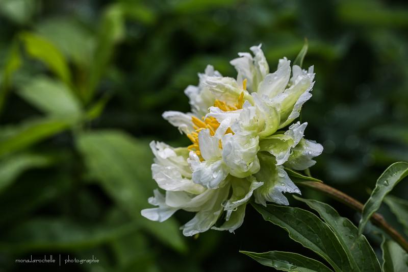 Paeonia Green Halo Paeonia-green-halo-130625-26rm
