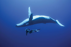 Diving with Humpack Whales in Rurutu, French Polynesia