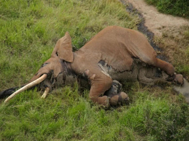Aerial view of the body of one of Kenya's last tusker elephants, Satao II. Satao II was found dead on 4 January 2017 after being shot with a poisoned arrow. Photo: Tsavo Trust