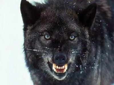 Fakta Menarik dan Sejarah perihal Serigala bubuk Fakta-Fakta Menarik dan Sejarah perihal Serigala abu-abu