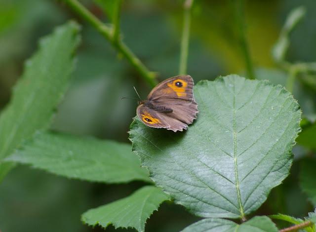 Manolia jurtina L., 1758, femelle. Les Hautes-Lisières (Rouvres, 28), 29 juin 2011. Photo : J.-M. Gayman