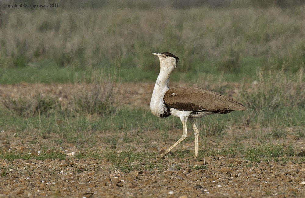 Great Indian Bustard (Male) * Ardeotis nigriceps * 122 cms
