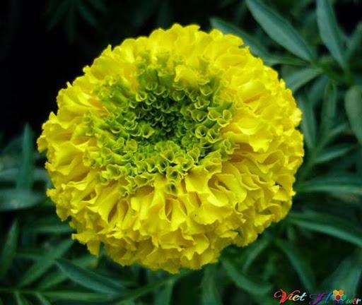 Hoa cúc vạn thọ giúp Kháng khuẩn, kháng vi trùng, khử trùng