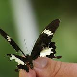 Papilio nephelus albolineatus FORBES, 1885. Lot n°2, Sukau, 15 août 2011. Photo : J.-M. Gayman