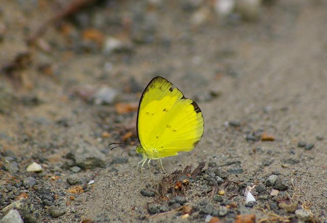 Eurema nicevillei nicevillei BUTLER, 1898. Sepilok (Sabah), 10 août 2011. Photo : J.-M. Gayman