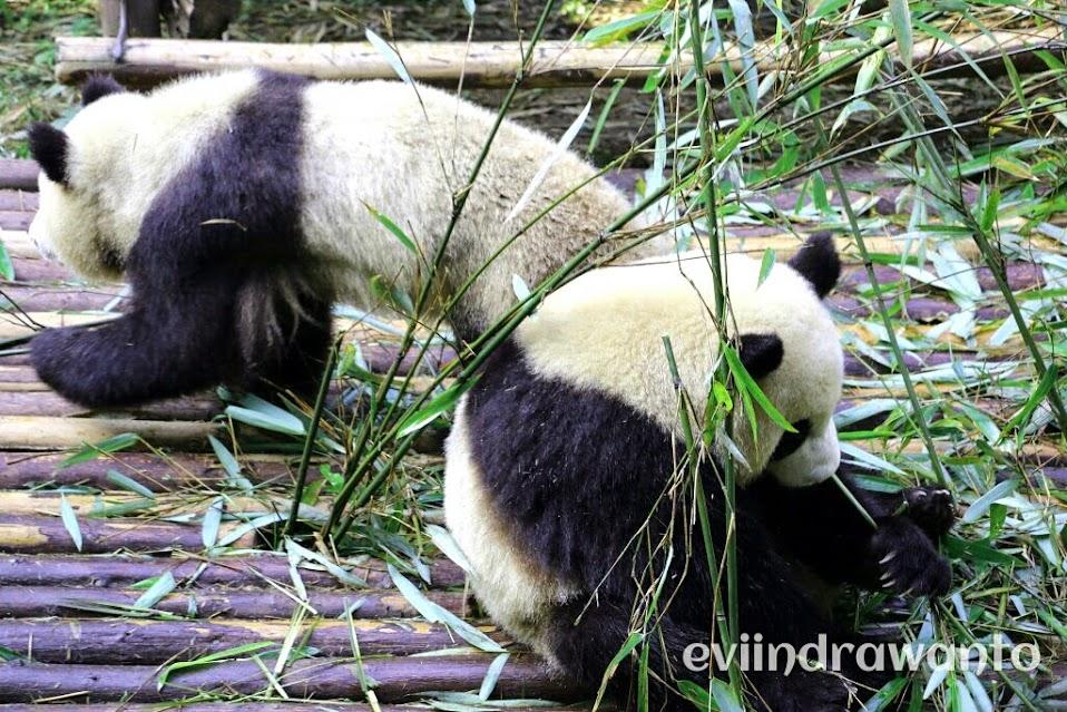 panda di chengdu panda base