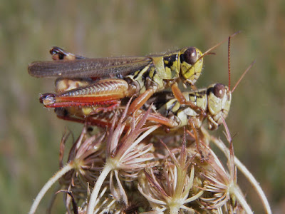 Grasshoppers in Love