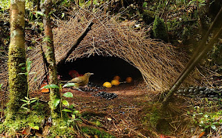 dsc2256vogelkop-bowerbird-his-boweramblyornis-inornatusarfak-mountains-garden-housewest-papua12-06-namdur