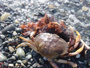 A photo of the crab with red seaweed. Photo taken at Discovery Park, Seattle, WA. Photo by Nick Peyton.
