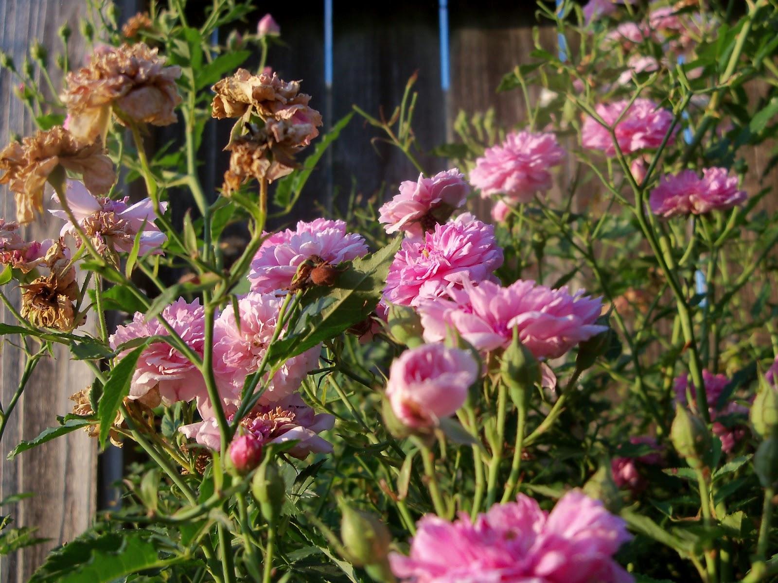 Gardening 2012 - 115_2421.JPG