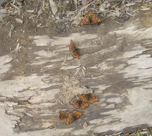 Rassemblement d'Euphydryas intermedia MÉNÉTRIÉS, 1859, mâle. Narichnyi (à l'ouest de Partizansk, Primorskij Kraj), 22 juin 2011. Photo : G. Meissonnier